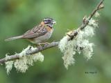 Rufous-collared Sparrow 2013