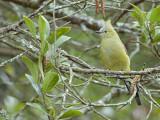 Long-tailed Silky-Flycatcher 2013