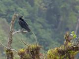 Black Vulture 2013