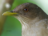 Clay-colored Thrush 2013