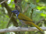 Black-headed Saltator 2013