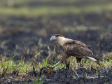 Northern Crested Caracara 2013