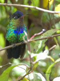 Fiery-throated Hummingbird - 2013 - perched