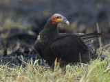 Yellow-headed Vulture 2013