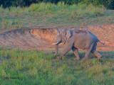 Asian Elephant - male