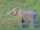 Asian Elephant - male - dirt shower