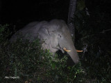 Asian Elephant - male - at night