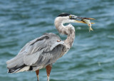 San Antonio Audubon Society,  Port Aransas September  2015