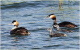 Greater Crested Grebe.jpg