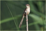 Graceful Prinia 2.jpg
