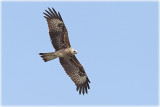 Black-eared kite .jpg