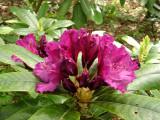 c12 'Purple Lace'