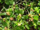 h98 leaf gall