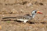 Western Red-billed Hornbill