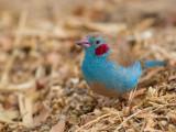 Red-cheeked Cordonblue (m)