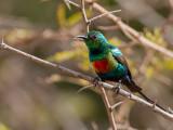 Beautiful Sunbird (m)