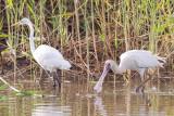 African Spoonbill & Great Egret