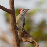Fine-spotted Woodpecker (f)