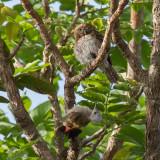 Pearl-spotted Owlet & Grey Woodpecker