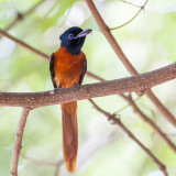 Red-bellied Paradise-flycatcher