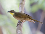 Yellow-throated Leaflove