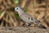 Black-billed Wood-dove