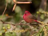 Red-billed Firefinch (m)