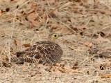Four-banded Sandgrouse (f)