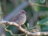 Red-billed Firefinch (f)