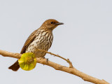Violet-backed Starling (f)