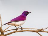 Violet-backed Starling (m)