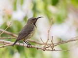 Splendid Sunbird (juvenile male)