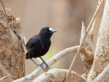 White-fronted Black-chat (m)