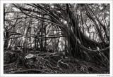Tangled Banyon Trees, Hawaii, 2016