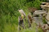 Black crowned night heron / BIHOREAU GRIS (Nycticorax nycticorax)