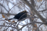 RUSTY BLACKBIRD / QUISCAL ROUILLEUX  - 20 Dec 2013