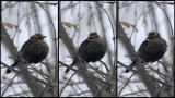 QUISCAL ROUILLEUX / RUSTY BLACKBIRD - 21 Dec 2013