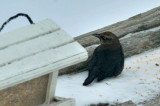 RUSTY BLACKBIRD / QUISCAL ROUILLEUX - 21 Dec 2013