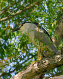 BIHOREAU GRIS / Black crowned night heron (Nycticorax nycticorax)