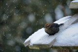 QUISCAL ROUILLEUX / RUSTY BLACKBIRD