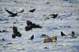 Grands corbeaux  / Raton