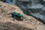 Cicindèlle 6 points (Green Tiger Beetle)