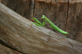 MANTE RELIGIEUSE / PRAYING MANTIS  / Mantis religiosa