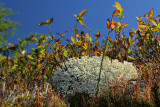 Cladonia rangiferina / Lichen de caribou