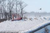 Snow bunting / Plectrophane des neiges