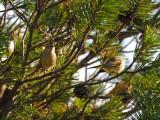 Paruline à couronne rousse