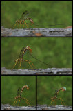 Ichneumone perçant le bois / Megarhyssa macrurus / Rhysse cannelle