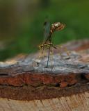 Megarhyssa macrurus durant la ponte / Ichneumon drilling in wood / Rhysse cannelle