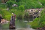 Deux BIHOREAUX GRIS / 2 Black-crowned Night Heron