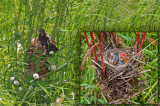 Nid de carouge avec petits / Red-winged Blackbird nest